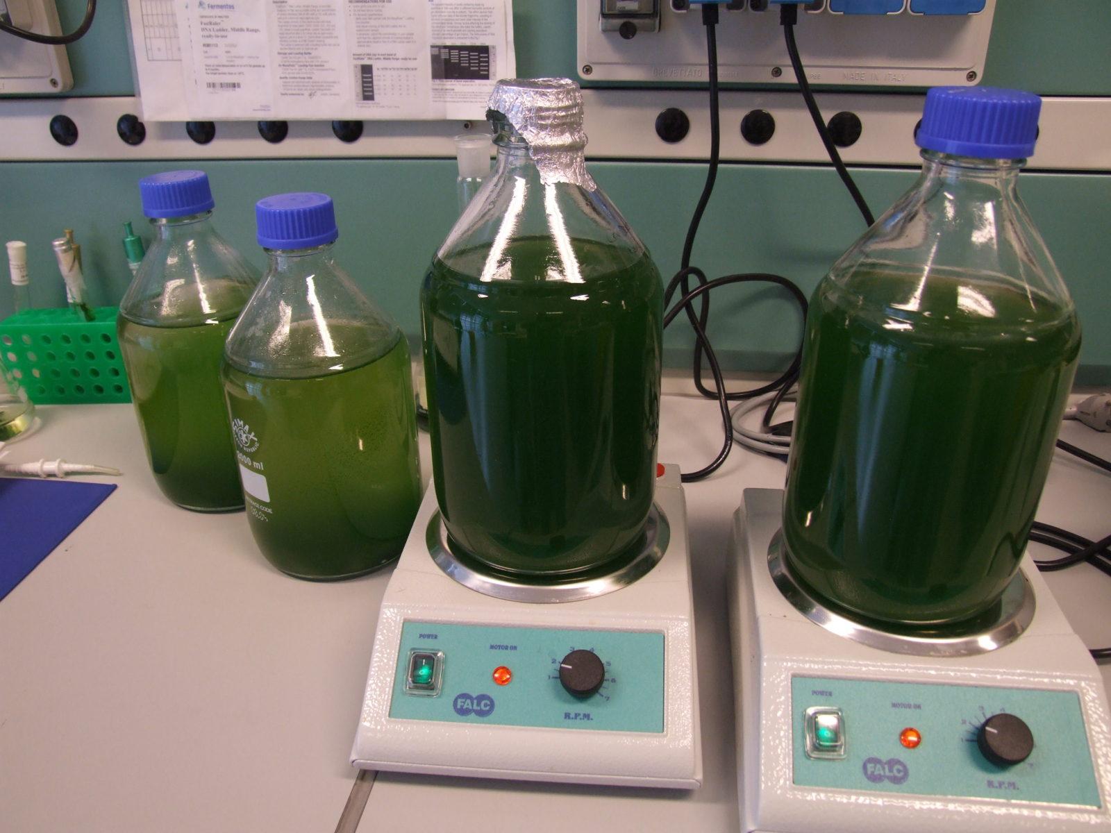 Microalgae cultures